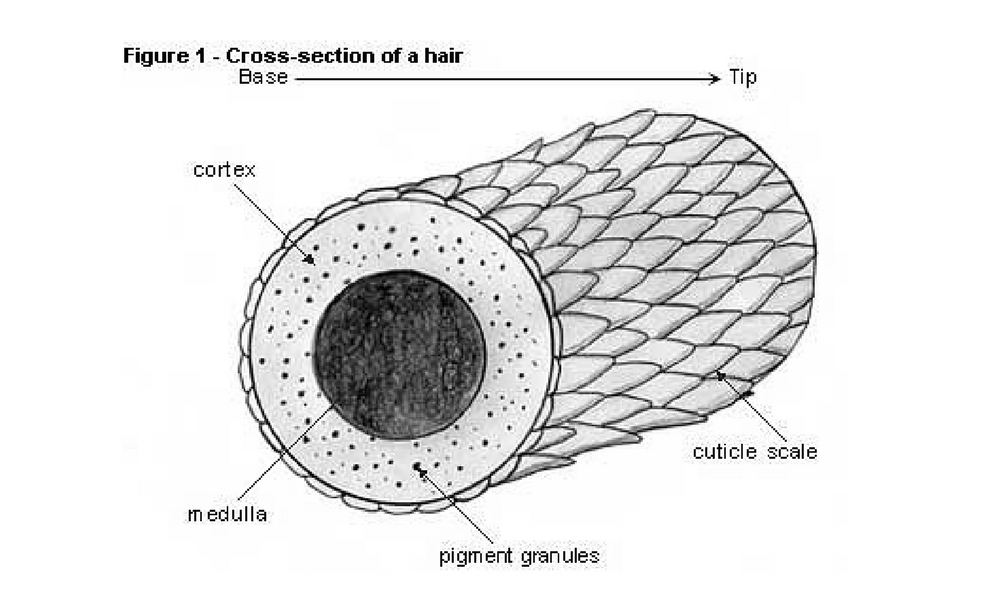 Cross Section Showing The Layers Of The Hair Shaft Manual Guide